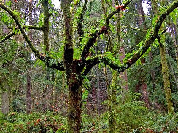 Licorice Fern (Polypodium Glycyrrhiza) http://www.sagebud.com/licorice-fern-polypodium-glycyrrhiza/