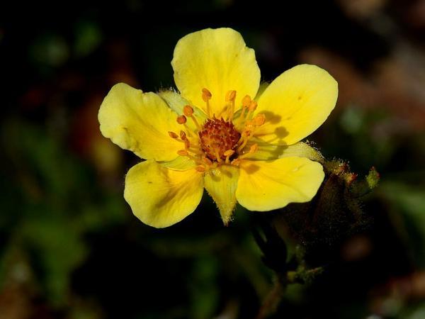 Sticky Cinquefoil (Potentilla Glandulosa) http://www.sagebud.com/sticky-cinquefoil-potentilla-glandulosa