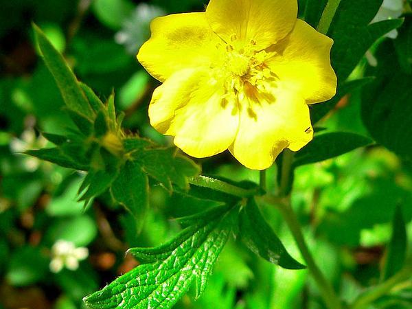 Slender Cinquefoil (Potentilla Gracilis) http://www.sagebud.com/slender-cinquefoil-potentilla-gracilis