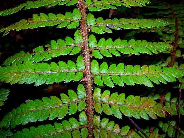 Island Swordfern (Polystichum Haleakalense) http://www.sagebud.com/island-swordfern-polystichum-haleakalense