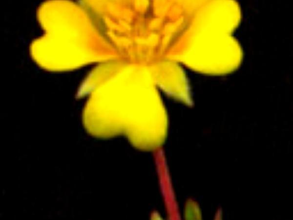 Hickman's Cinquefoil (Potentilla Hickmanii) http://www.sagebud.com/hickmans-cinquefoil-potentilla-hickmanii