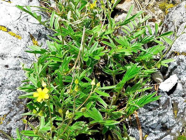 Woolly Cinquefoil (Potentilla Hippiana) http://www.sagebud.com/woolly-cinquefoil-potentilla-hippiana