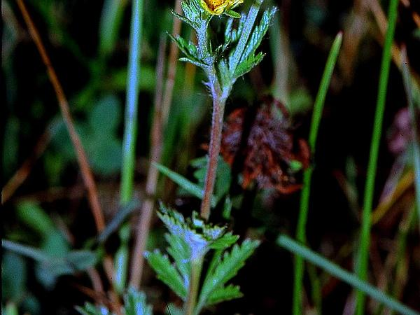 Ashy Cinquefoil (Potentilla Inclinata)