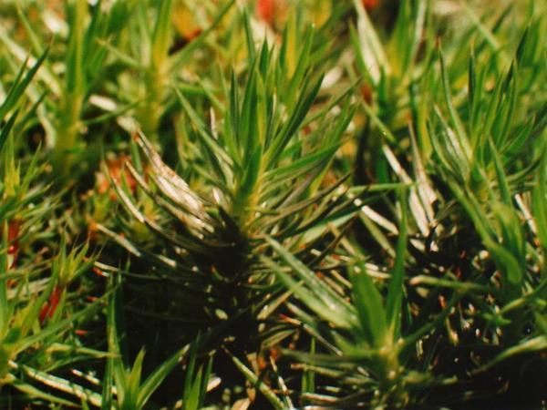 Juniper Polytrichum Moss (Polytrichum Juniperinum) http://www.sagebud.com/juniper-polytrichum-moss-polytrichum-juniperinum