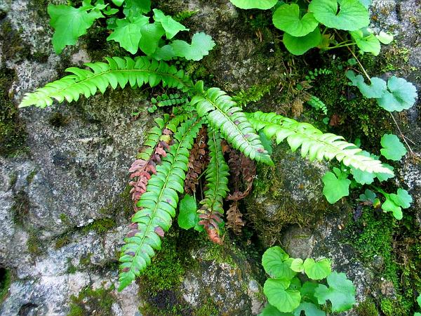Northern Hollyfern (Polystichum Lonchitis) http://www.sagebud.com/northern-hollyfern-polystichum-lonchitis/