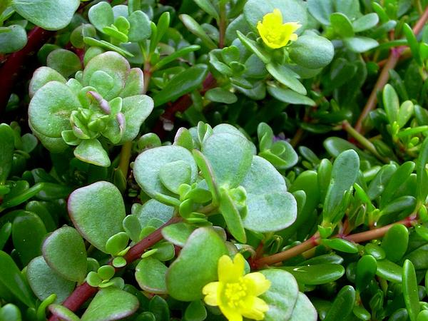 Native Yellow Purslane (Portulaca Lutea) http://www.sagebud.com/native-yellow-purslane-portulaca-lutea/