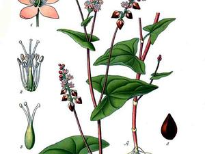 POLYG4/280_Polygonum_fagopyrum_L_300.jpg