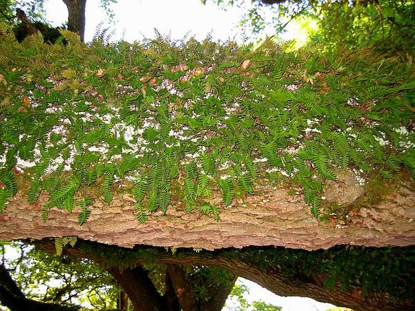Polypody (Polypodium) http://www.sagebud.com/polypody-polypodium