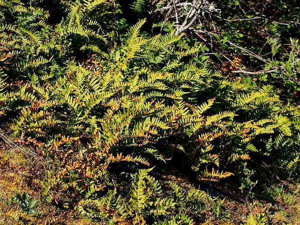 Polypody (Polypodium) http://www.sagebud.com/polypody-polypodium/