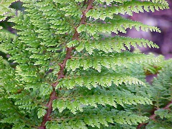 Hollyfern (Polystichum) http://www.sagebud.com/hollyfern-polystichum/