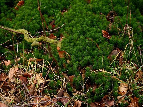 Polytrichum Moss (Polytrichum) http://www.sagebud.com/polytrichum-moss-polytrichum
