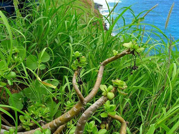 'Ihi (Portulaca Molokiniensis) http://www.sagebud.com/ihi-portulaca-molokiniensis