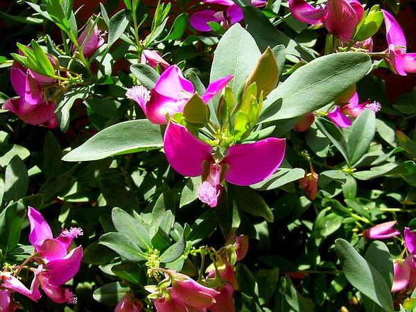Myrtle-Leaf Milkwort (Polygala Myrtifolia) http://www.sagebud.com/myrtle-leaf-milkwort-polygala-myrtifolia/