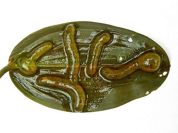 Floating Pondweed (Potamogeton Natans) http://www.sagebud.com/floating-pondweed-potamogeton-natans