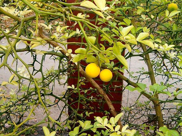 Poncirus (Poncirus) http://www.sagebud.com/poncirus-poncirus/