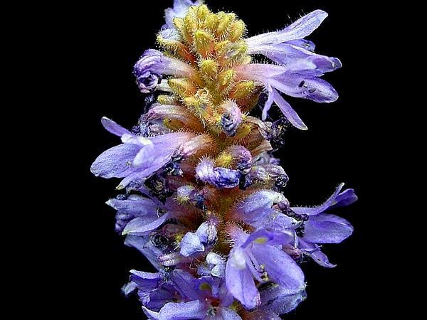 Pickerelweed (Pontederia) http://www.sagebud.com/pickerelweed-pontederia