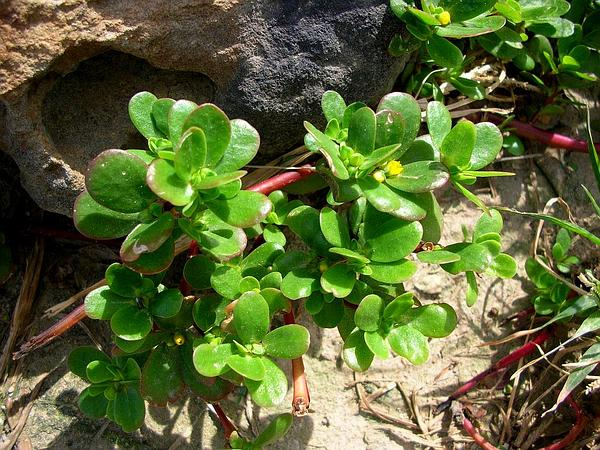 Little Hogweed (Portulaca Oleracea) http://www.sagebud.com/little-hogweed-portulaca-oleracea/