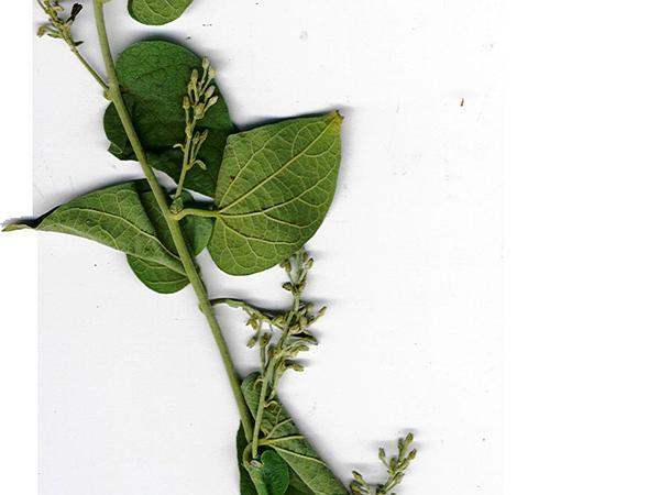 Bridal Bouquet (Poranopsis Paniculata) http://www.sagebud.com/bridal-bouquet-poranopsis-paniculata/