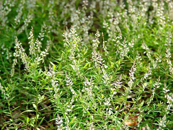 Orosne (Polygala Paniculata) http://www.sagebud.com/orosne-polygala-paniculata