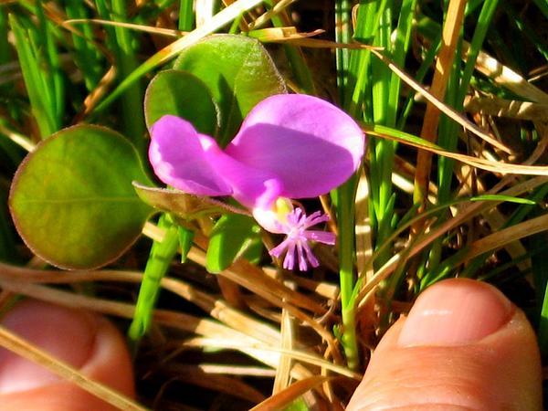 Gaywings (Polygala Paucifolia) http://www.sagebud.com/gaywings-polygala-paucifolia