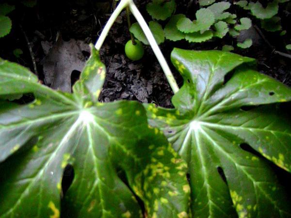 Mayapple (Podophyllum Peltatum) http://www.sagebud.com/mayapple-podophyllum-peltatum