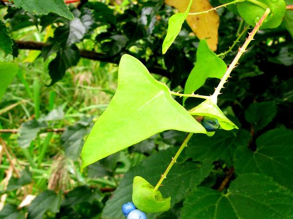 Asiatic Tearthumb (Polygonum Perfoliatum) http://www.sagebud.com/asiatic-tearthumb-polygonum-perfoliatum