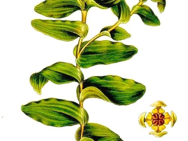 Claspingleaf Pondweed (Potamogeton Perfoliatus) http://www.sagebud.com/claspingleaf-pondweed-potamogeton-perfoliatus/