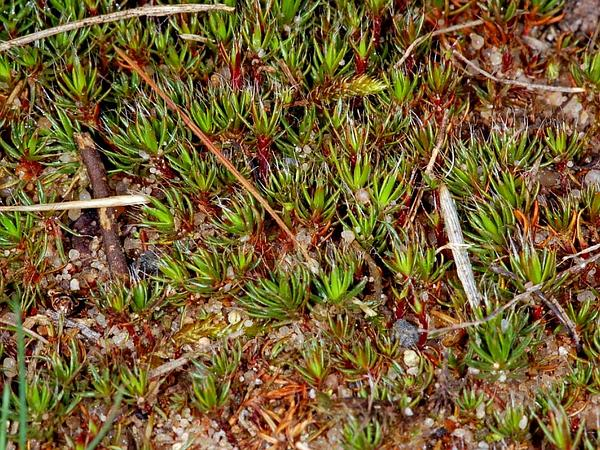 Polytrichum Moss (Polytrichum Piliferum) http://www.sagebud.com/polytrichum-moss-polytrichum-piliferum
