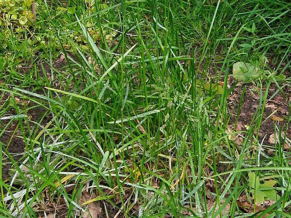Kentucky Bluegrass (Poa Pratensis) http://www.sagebud.com/kentucky-bluegrass-poa-pratensis