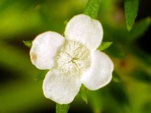 Juniper Leaf