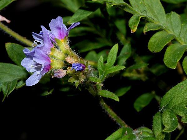 Jacob's-Ladder (Polemonium Pulcherrimum) http://www.sagebud.com/jacobs-ladder-polemonium-pulcherrimum