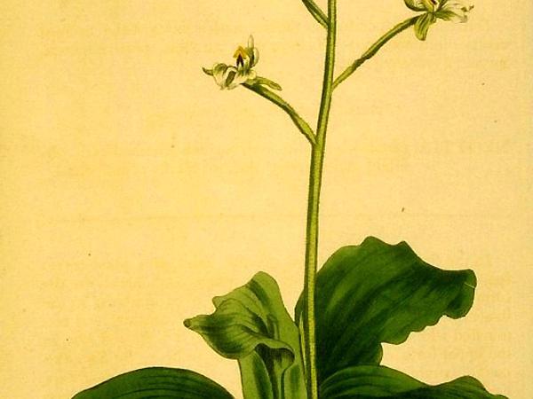 Hairy Shadow Witch (Ponthieva Racemosa) http://www.sagebud.com/hairy-shadow-witch-ponthieva-racemosa