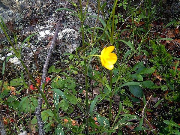 Sulphur Cinquefoil (Potentilla Recta) http://www.sagebud.com/sulphur-cinquefoil-potentilla-recta