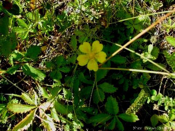 Creeping Cinquefoil (Potentilla Reptans) http://www.sagebud.com/creeping-cinquefoil-potentilla-reptans
