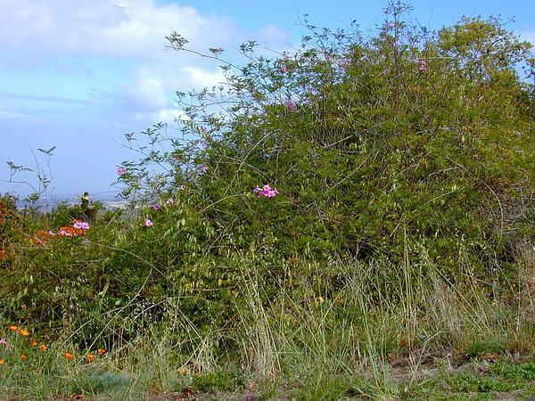 Zimbabwe Creeper (Podranea Ricasoliana) http://www.sagebud.com/zimbabwe-creeper-podranea-ricasoliana/