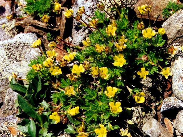 Dwarf Mountain Cinquefoil (Potentilla Robbinsiana) http://www.sagebud.com/dwarf-mountain-cinquefoil-potentilla-robbinsiana