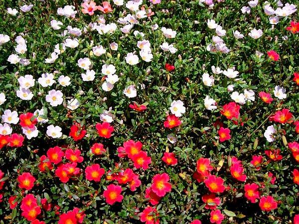 Purslane (Portulaca) http://www.sagebud.com/purslane-portulaca