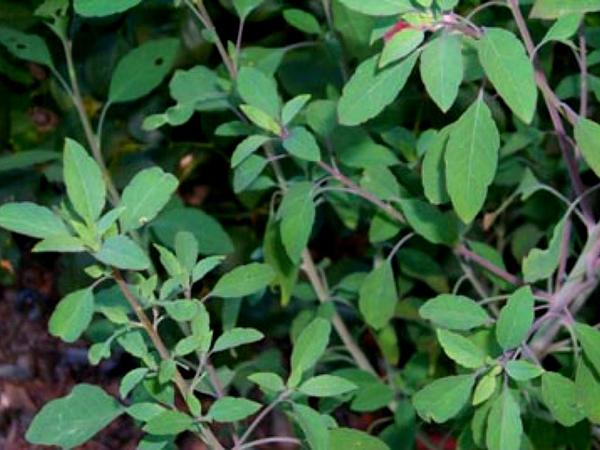 Yerba Porosa (Porophyllum Ruderale) http://www.sagebud.com/yerba-porosa-porophyllum-ruderale