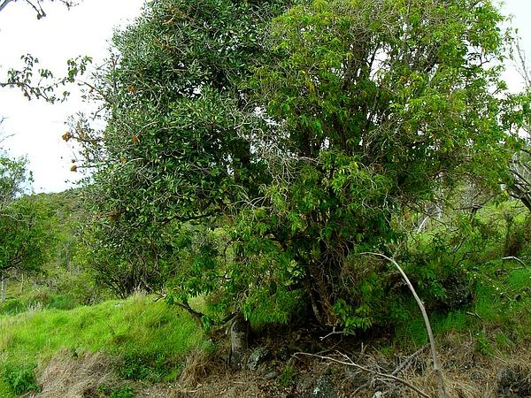 'Ala'A (Pouteria Sandwicensis) http://www.sagebud.com/alaa-pouteria-sandwicensis