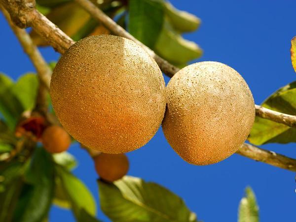 Mammee Sapote (Pouteria Sapota) http://www.sagebud.com/mammee-sapote-pouteria-sapota/