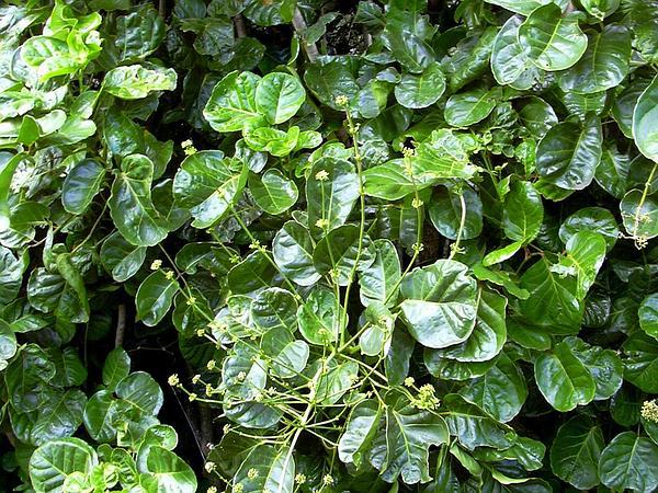 Shield Aralia (Polyscias Scutellaria) http://www.sagebud.com/shield-aralia-polyscias-scutellaria