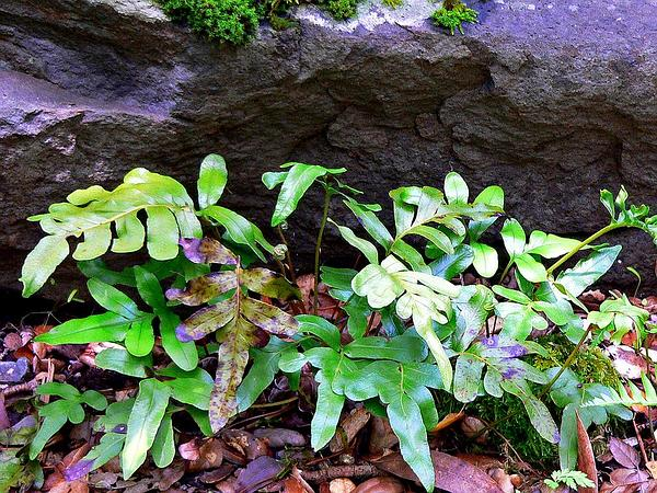 Leathery Polypody (Polypodium Scouleri) http://www.sagebud.com/leathery-polypody-polypodium-scouleri