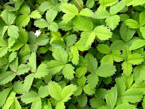 Strawberryleaf Cinquefoil (Potentilla Sterilis) http://www.sagebud.com/strawberryleaf-cinquefoil-potentilla-sterilis