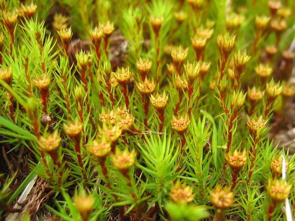 Polytrichum Moss (Polytrichum Strictum) http://www.sagebud.com/polytrichum-moss-polytrichum-strictum/