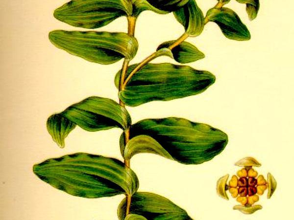 Pondweed (Potamogeton) http://www.sagebud.com/pondweed-potamogeton