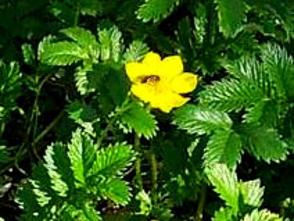 Cinquefoil (Potentilla) http://www.sagebud.com/cinquefoil-potentilla