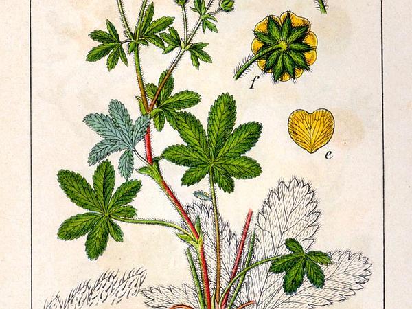 European Cinquefoil (Potentilla Thuringiaca) http://www.sagebud.com/european-cinquefoil-potentilla-thuringiaca