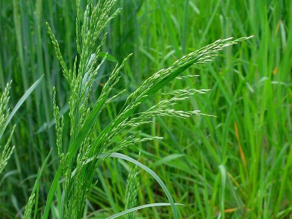 Rough Bluegrass (Poa Trivialis) http://www.sagebud.com/rough-bluegrass-poa-trivialis/