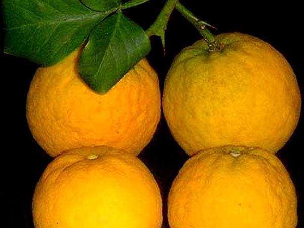 Hardy Orange (Poncirus Trifoliata) http://www.sagebud.com/hardy-orange-poncirus-trifoliata