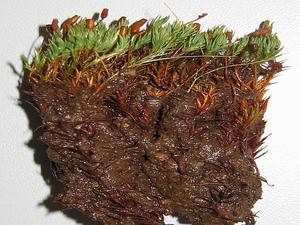 Pogonatum Moss